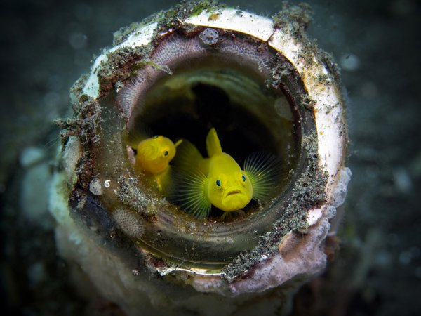 Two yellow gobies in a bottle thumbnail