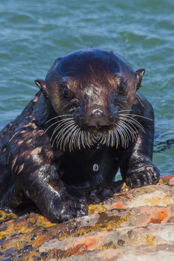 Sea otter pup exploring culverts thumbnail