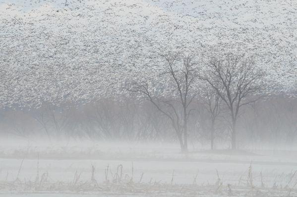 A Foggy Day in Birdland (or Fowl Foliage) thumbnail