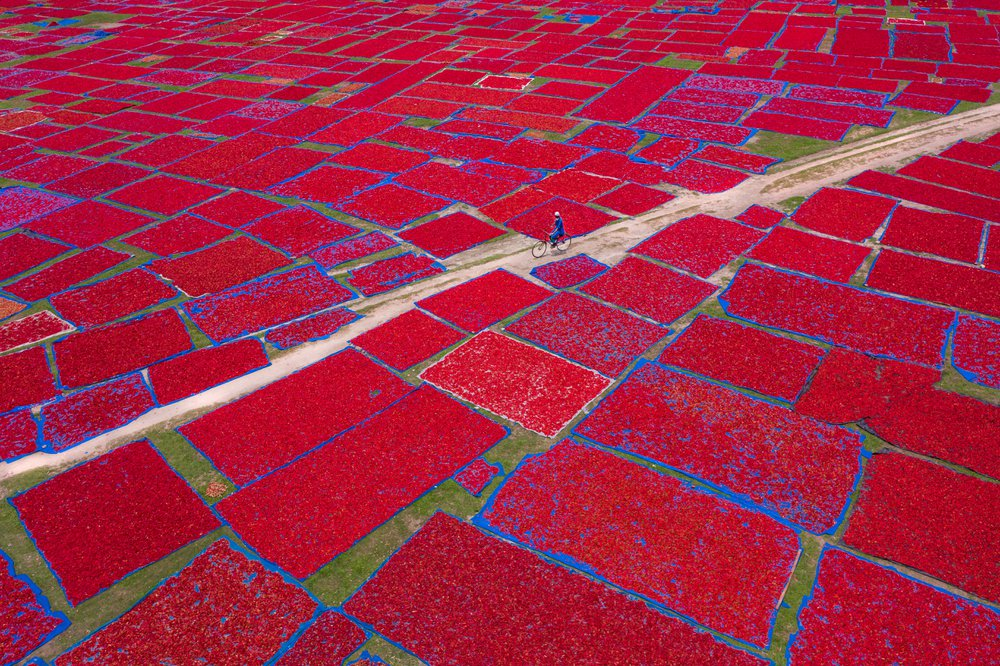 A farmer is going home after laying out red chilies on plastic sheets under the bright sunlight during the harvesting season. Ton's of chilies are laid out to dry, creating a patchwork effect on open fields of Bangladesh.
