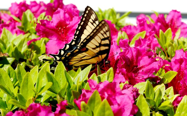A Monarch enjoying breakfast on the Azalea flowers thumbnail
