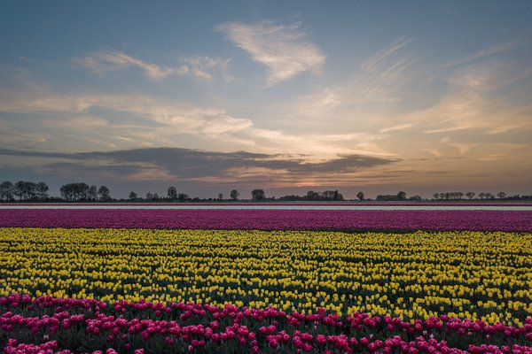 Tulips at sunset thumbnail