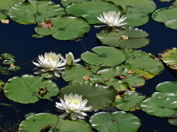 Water Lilies At Rieve's Pond thumbnail
