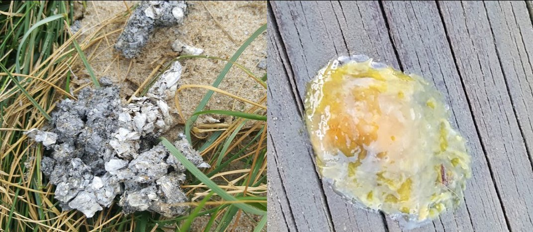 Left: Gray and white clumps of river otter scat. Right: Clear and yellow blob of anal jelly.