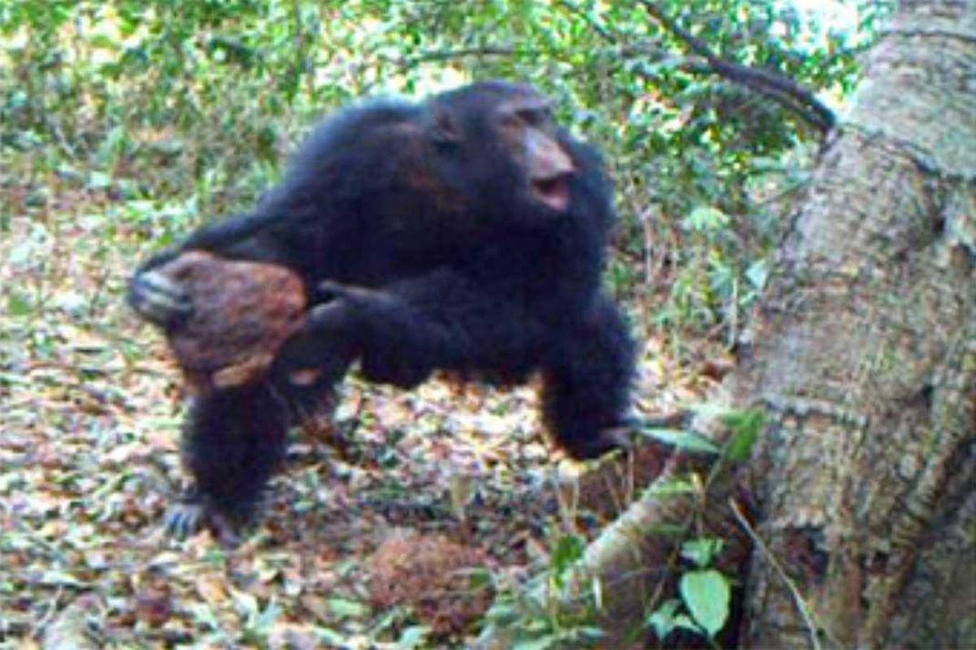 "Chimps May Be Performing Rituals at ""Shrine Trees"""