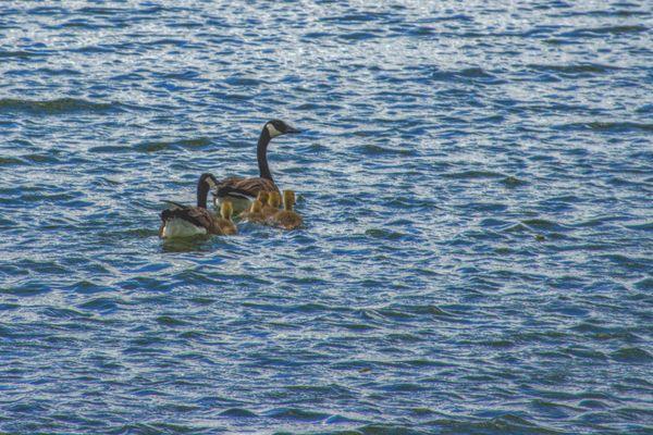 Goose family swimming thumbnail