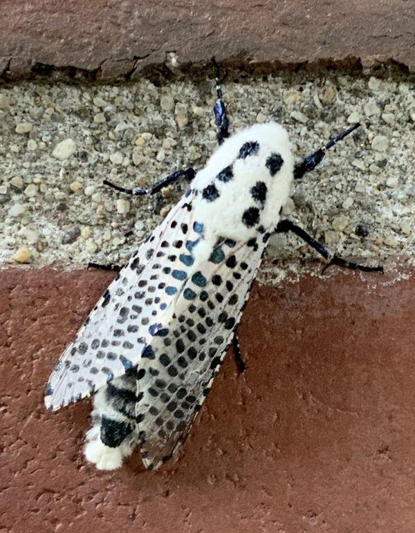 Wood Leopard Moth thumbnail
