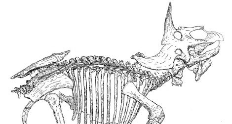 """A line-drawing of the Triceratops known as """"Raymond."""""""