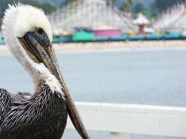 Pelican on the Santa Cruz wharf thumbnail