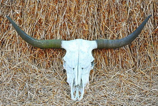Longhorn skull thumbnail