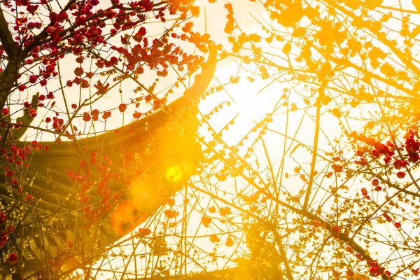Golden Sunlight thumbnail