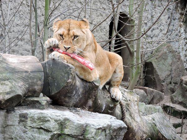 A fierce lioness enjoying her prey thumbnail