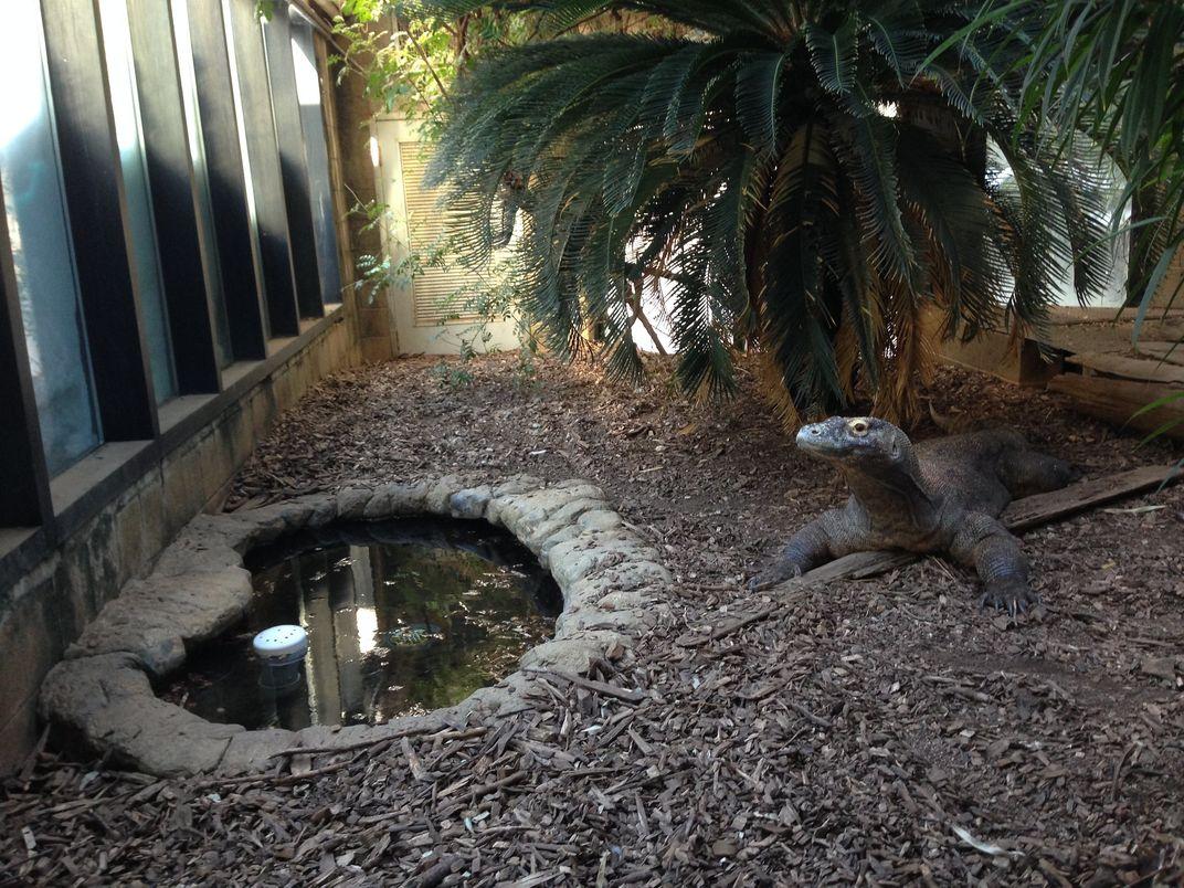 A kimodo dragon in a zoo enclosure.