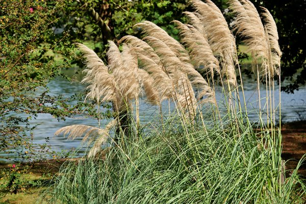 Pampas grass beside Lake Pauline thumbnail