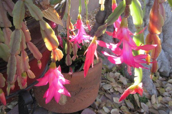 Cactus Flowers thumbnail