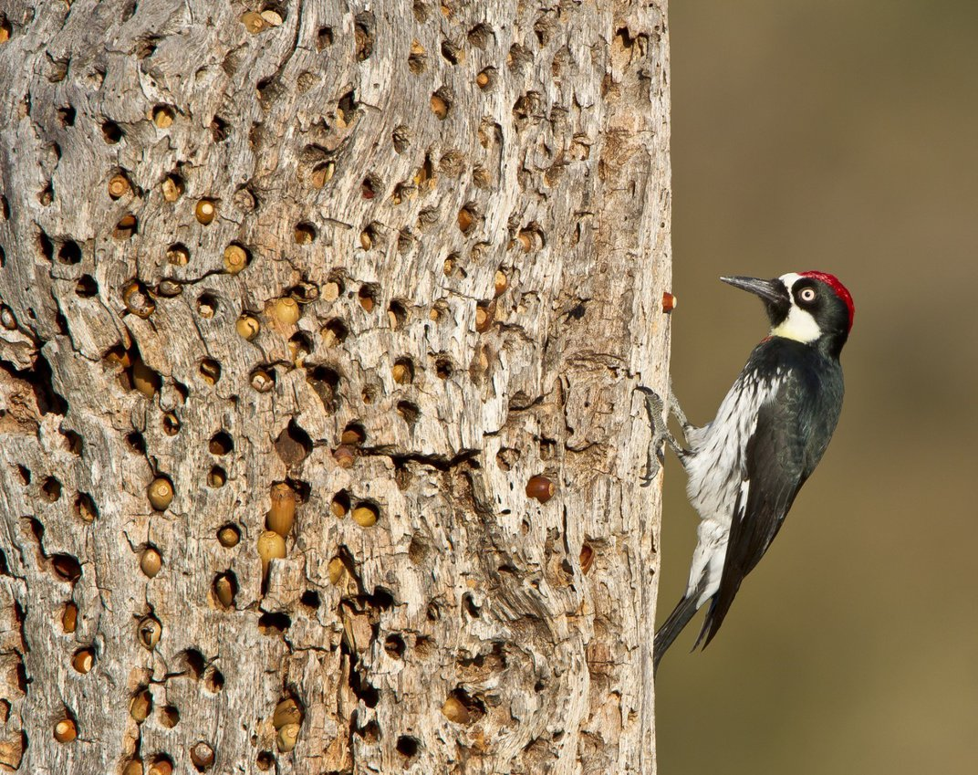 Red, white and black woodpecker on an acorn-filled tree trunk