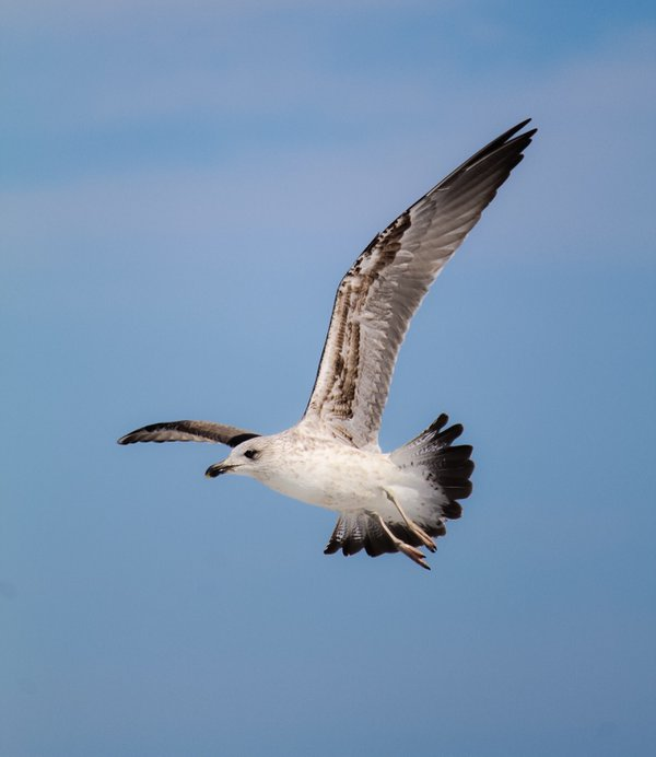 Seagull in Flight thumbnail