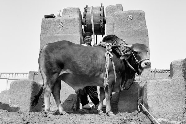Cow thumbnail