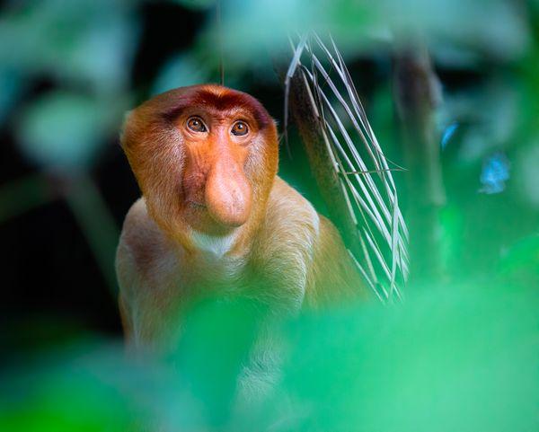 Proboscis Monkey thumbnail