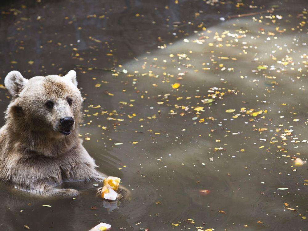 Syrian Brown Bear