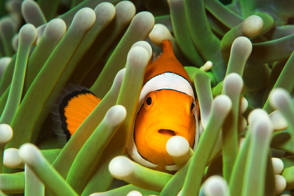 Clownfish in anemone thumbnail