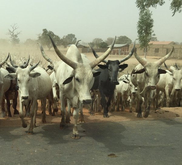 Cattle crossing in Nigeria thumbnail