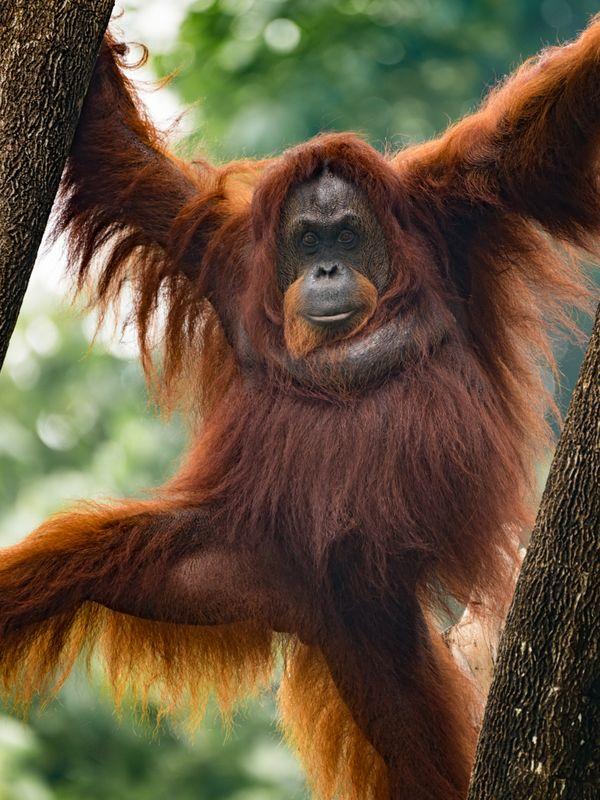 a portrait of majestic Orang Utan in Malaysia. thumbnail