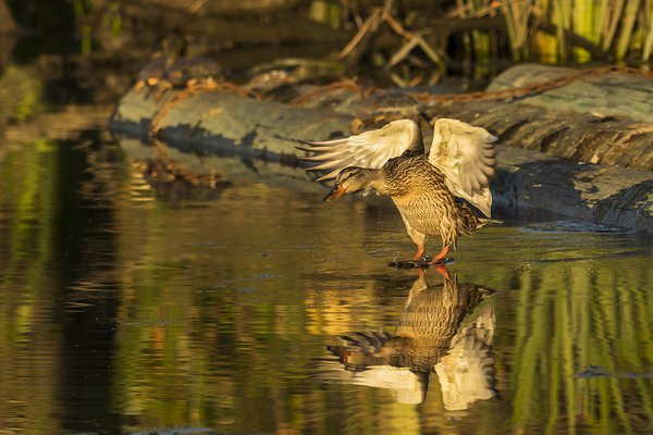 Mallard Duck landing thumbnail
