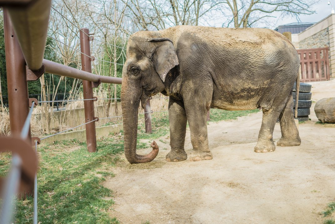 National Zoo Mourns Death of Asian Elephant