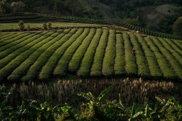 Thailand tea plantation thumbnail
