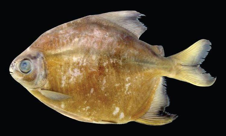 14 Fun Facts About Piranhas