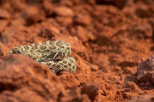 Juvenile Prairie Rattlesnake captured in the red hills of Wyoming thumbnail