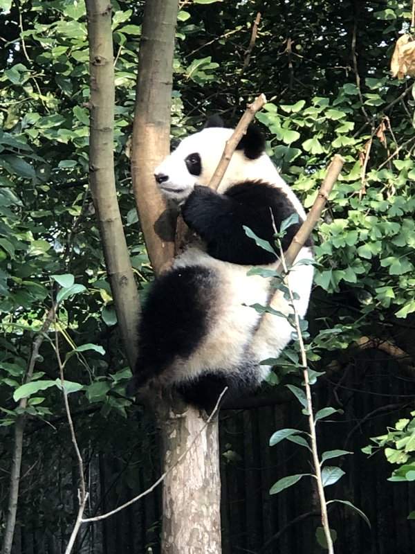 Nap time at the Chengdu Research Base of Giant Panda Breeding thumbnail