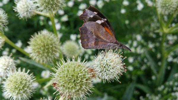 Snout Butterfly on Rattlesnake Master thumbnail