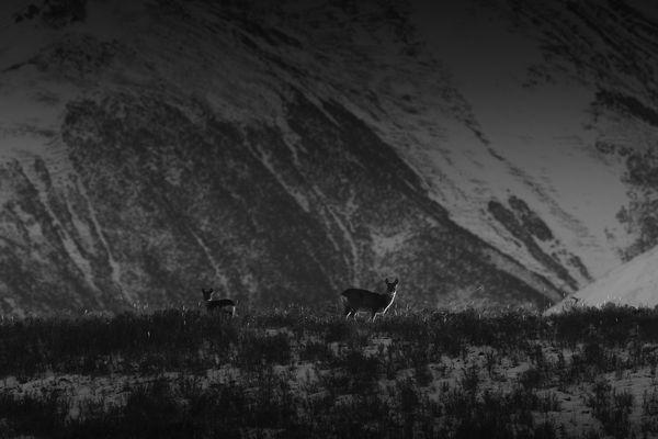 Roe deer in the snowfield thumbnail