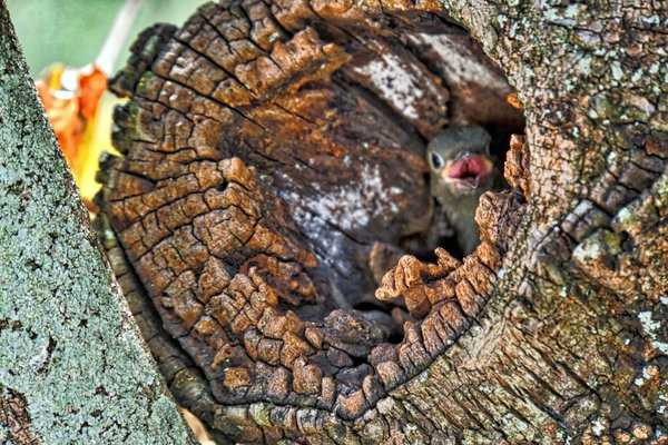 Hungry Baby Woodpecker thumbnail