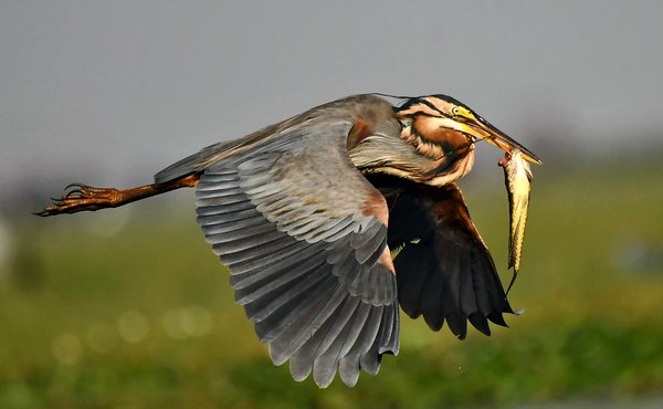 Purple heron flying with catch thumbnail