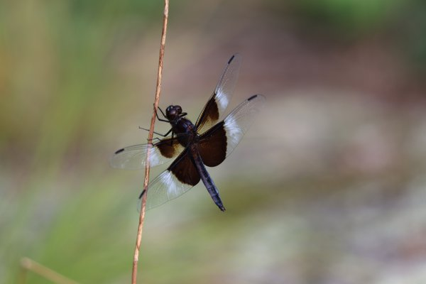 Widow skimmer dragonfly at rest thumbnail