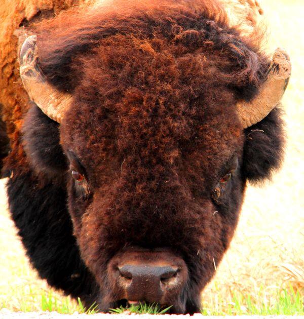 Close Up Bison  thumbnail