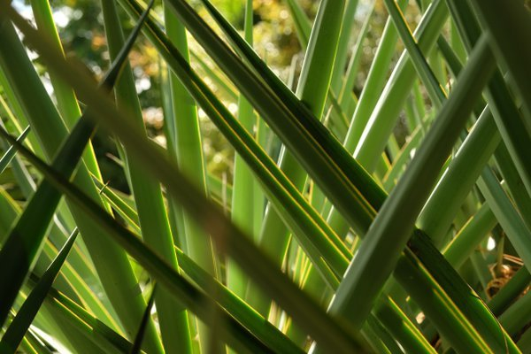 Yucca leaves criss cross thumbnail