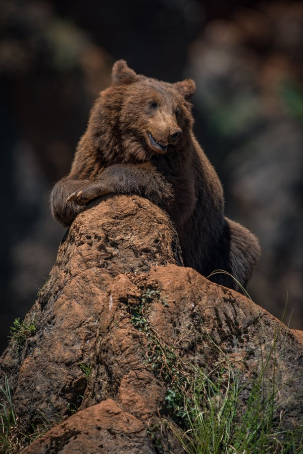 Brown bear lying relaxed on rocky outcrop thumbnail