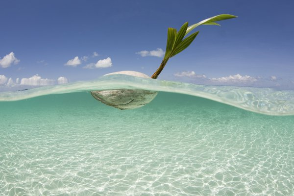 A coconut floats in the shallows near Palau, Micronesia. thumbnail