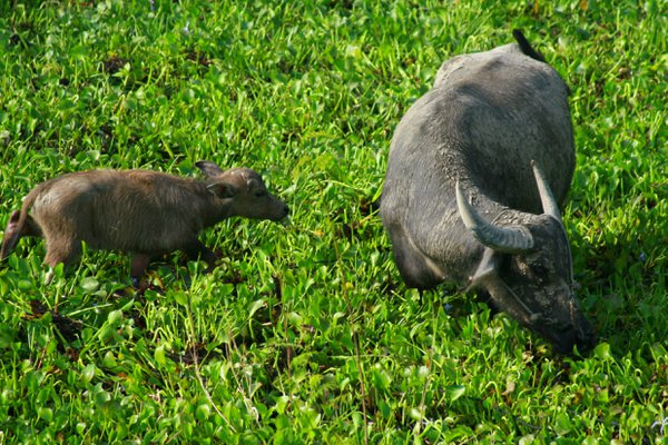 A water buffalo and her calf in a lilly-covered pond in Mae Sot, Thailand. thumbnail