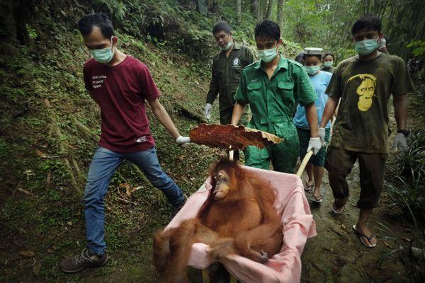 Saving Orangutans 17 thumbnail