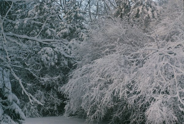Snowy branches thumbnail