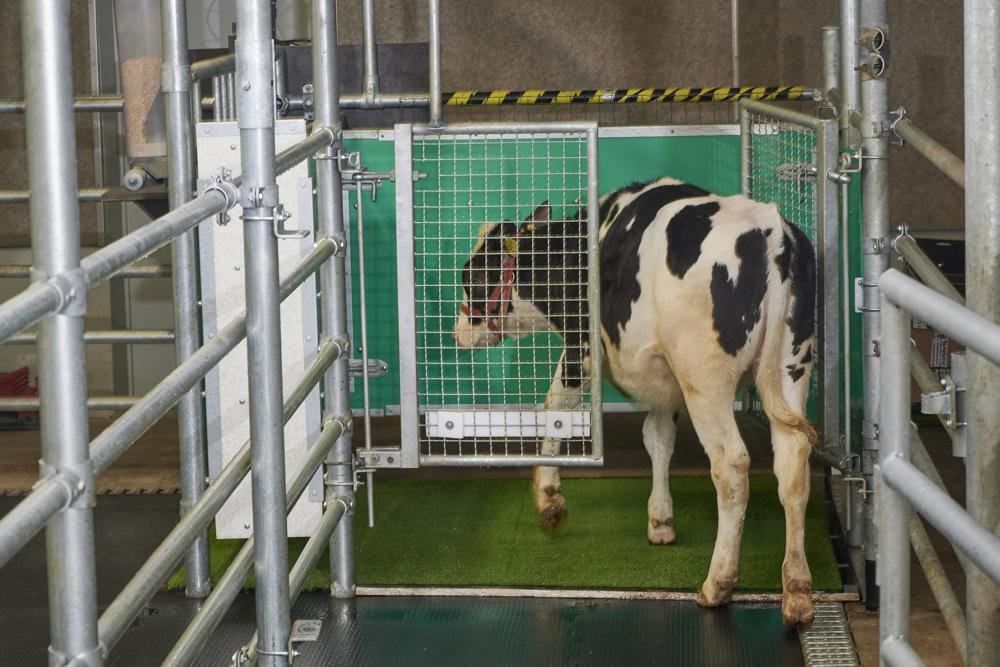 Cow urinating in a pen