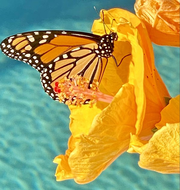 Monarch feeding on my Hibiscus thumbnail