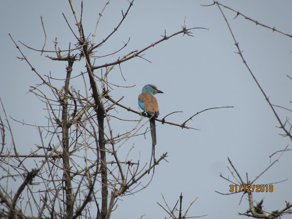 Abyssinian Roller thumbnail