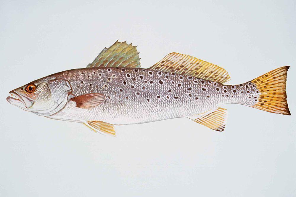 1024px-Spotted_seatrout_fish_cynoscion_nebulosus.jpg