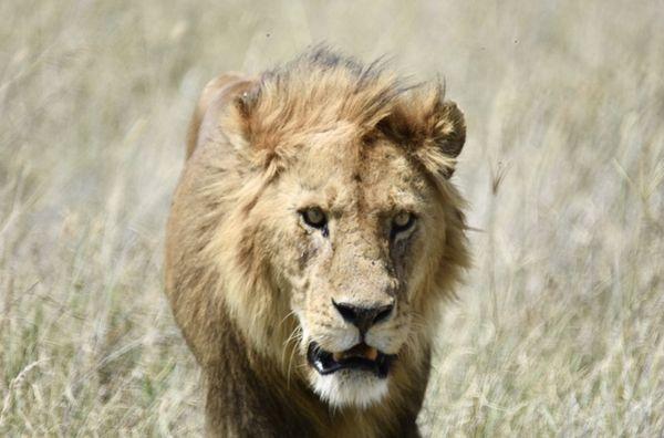 Lion thumbnail